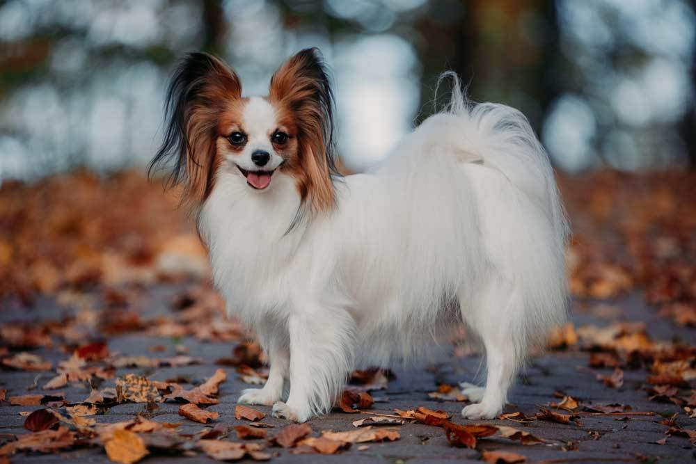 Papillon standing outdoors on leaf covered ground