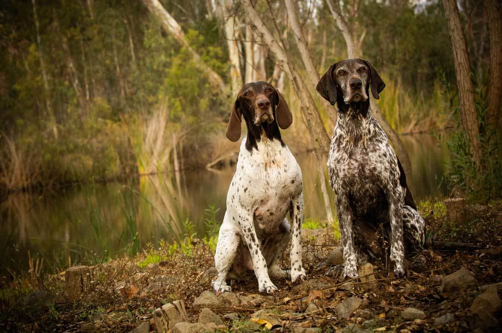 2 pointers sitting on a river bank