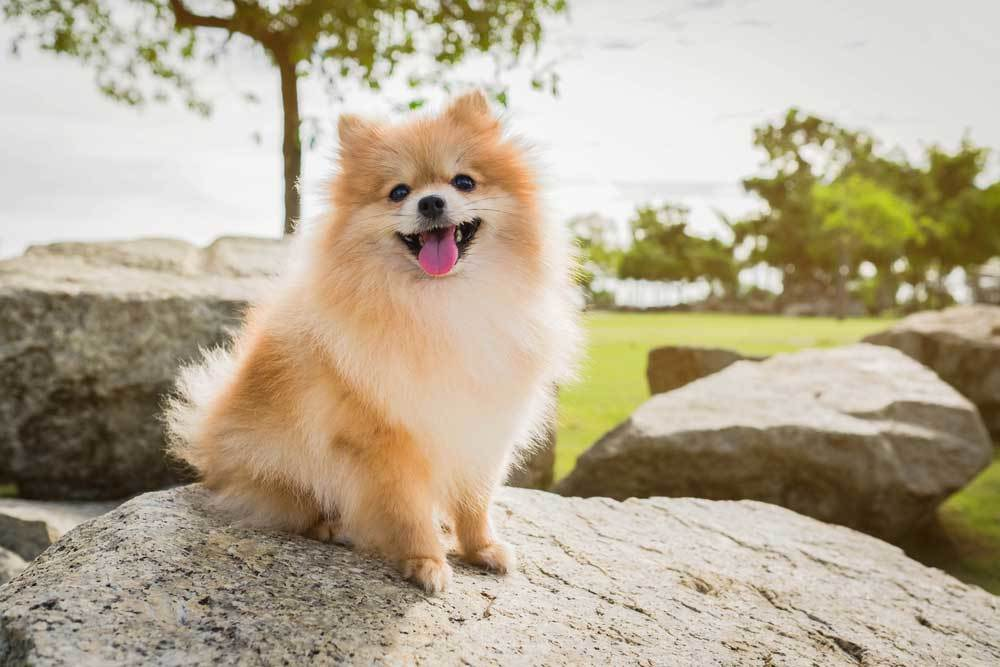 Pomeranian sitting on boulder outdoors in a nature park setting