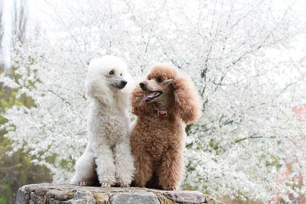 2 poodles Poodle sitting on a boulder in front of a tree with white flowers