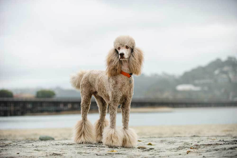 Poodle standing next to river with bridge in the background