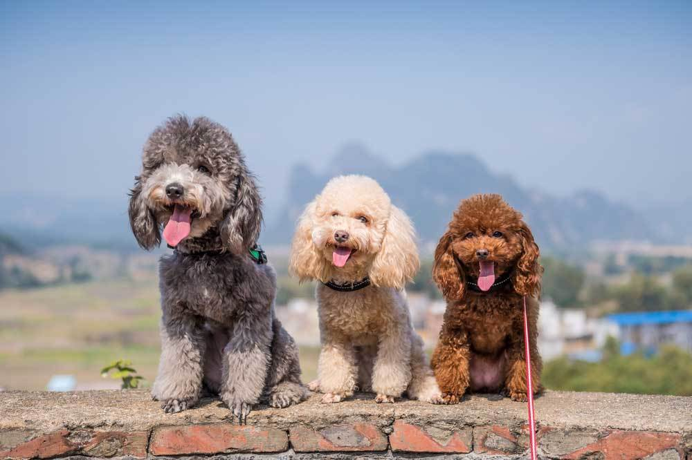 3 Poodles sitting side by side on a brick wall
