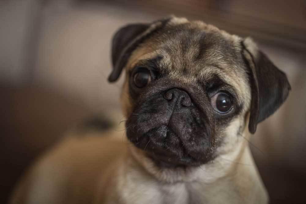 closeup portrait of Pug's face