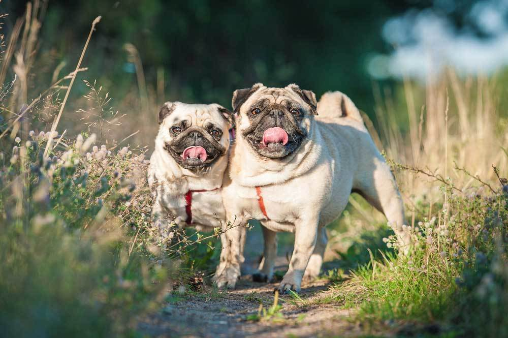2 pugs on a walking trail with tall grass