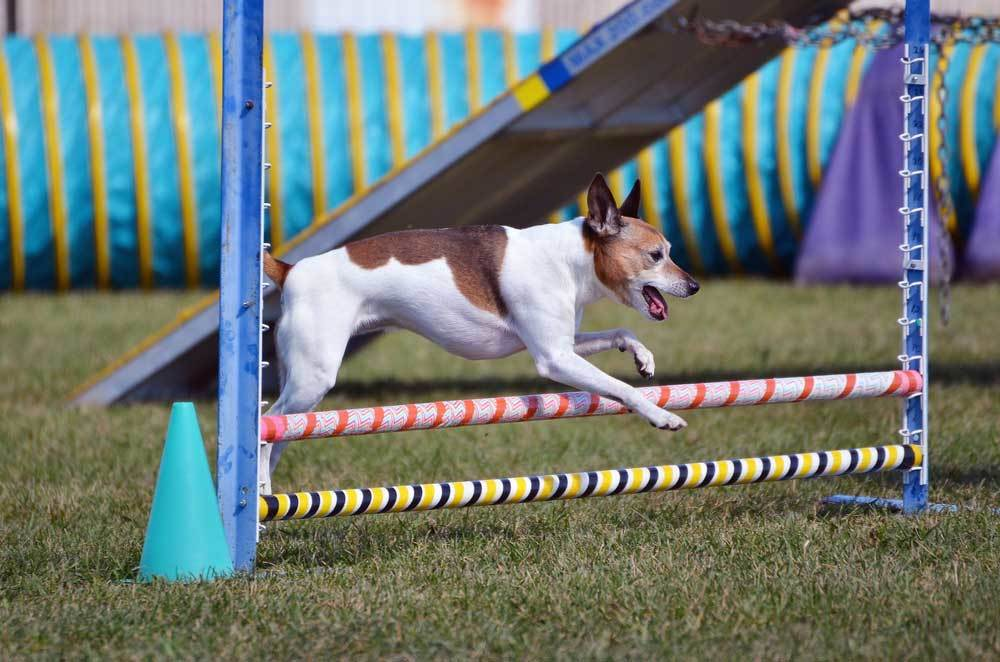 Rat Terrier in mid jump over agility poles