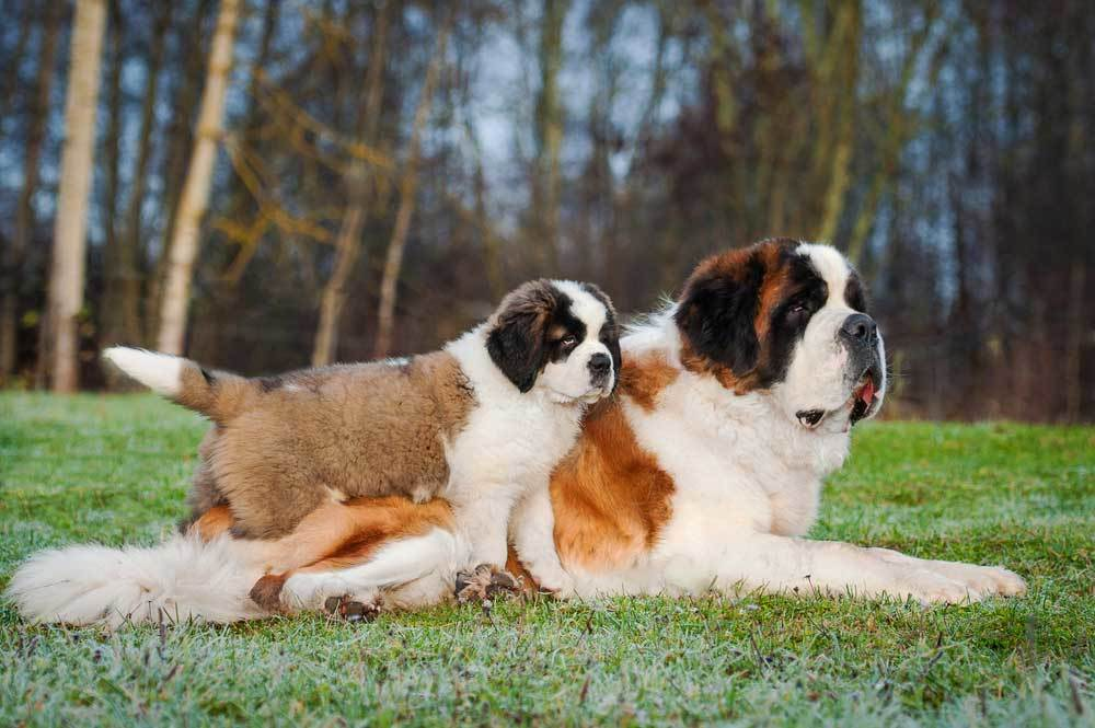 Saint Bernard adult and puppy laying on grass in front of trees