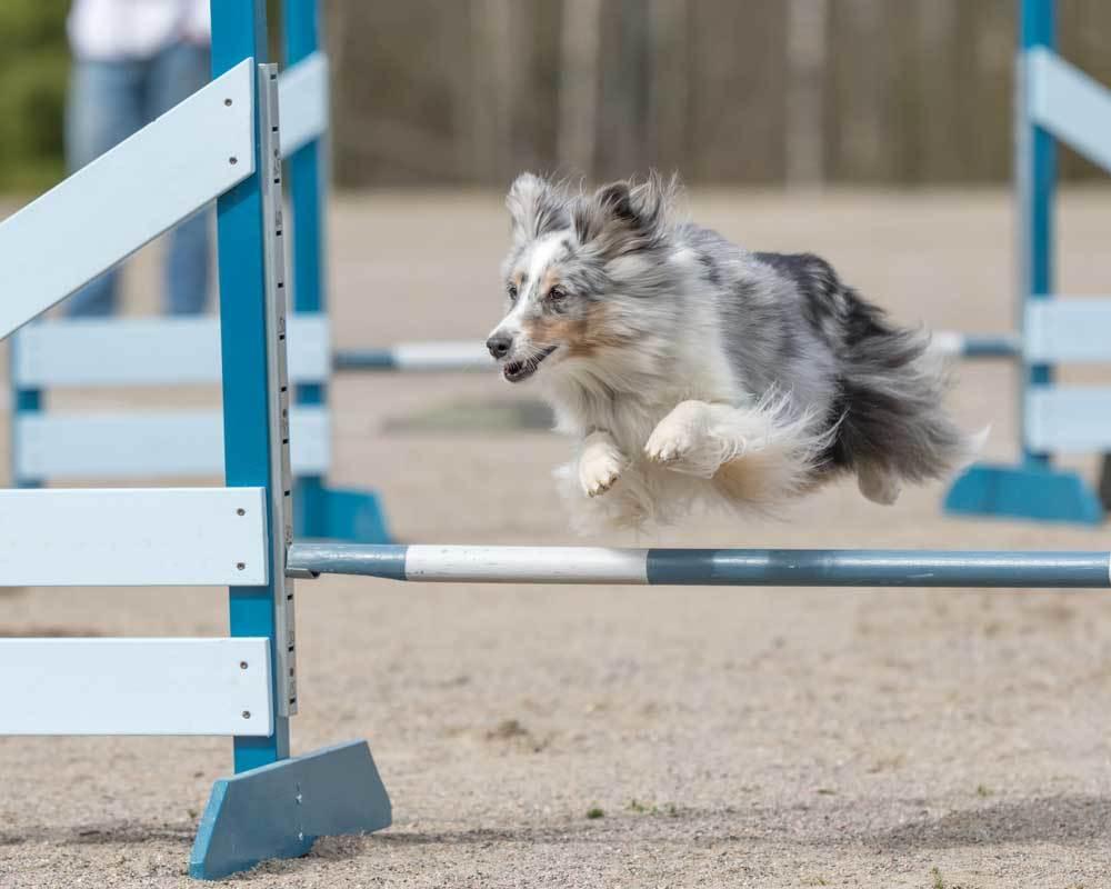 Shetland Sheepdog jumping over agility poles