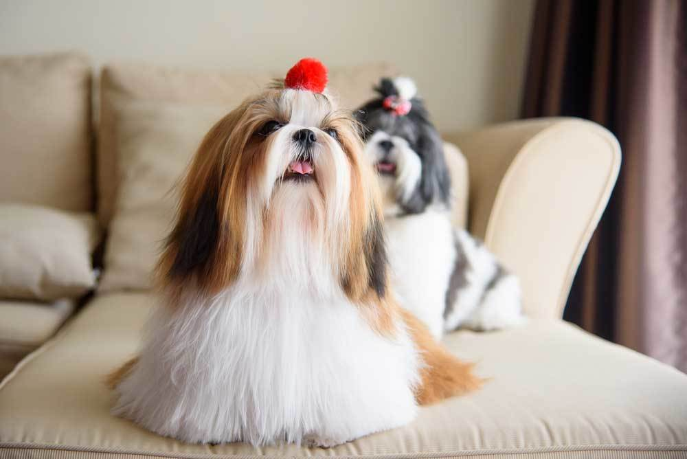 2 Shih Tzus sitting on couch