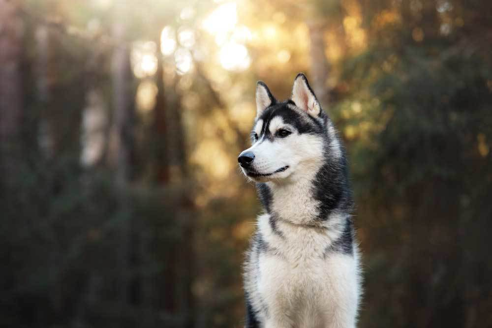 Side profile of a Siberian Husky sitting in the woods