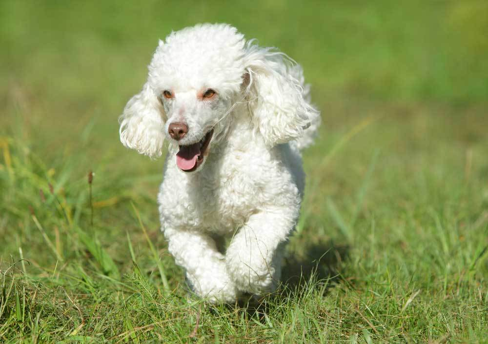 Toy Poodle running in grass