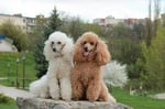 two poodles - one cream and one brown