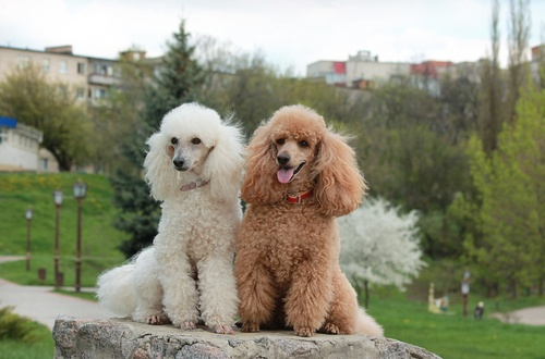 Two poodles - one cream and one brown.