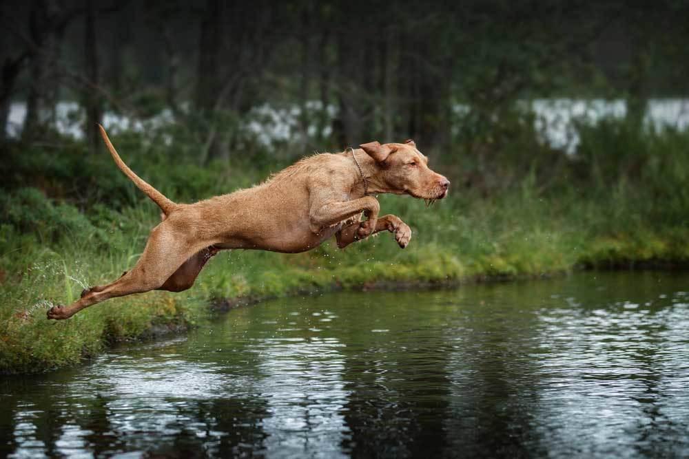 Vizsla jumping over a creek