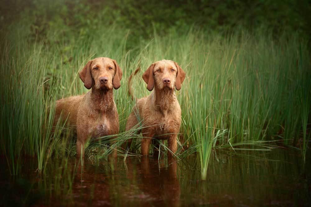 2 Vizslas standing in marshy water.
