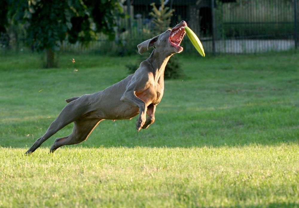 Weimaraner jumping to catch a Frisbee