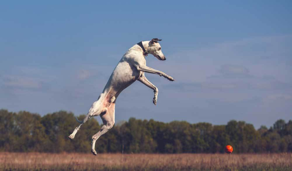 Whippet jumping in the air