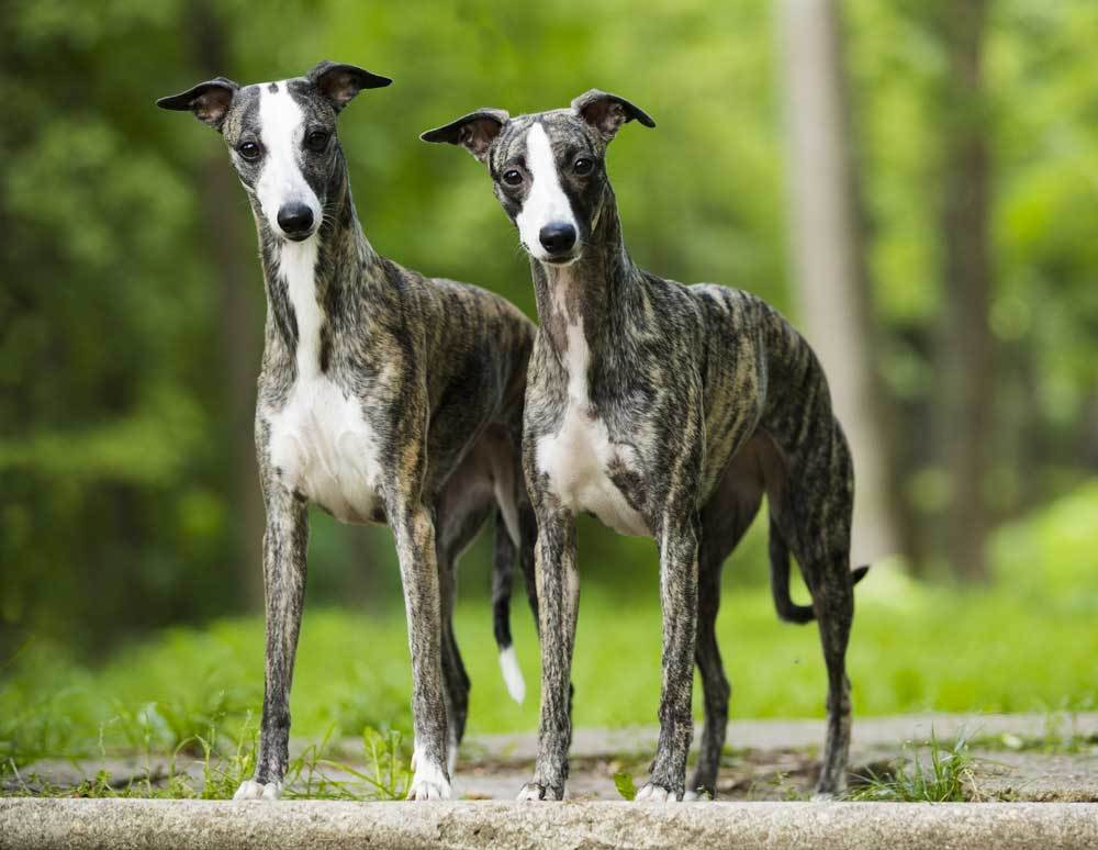 2 Whippets standing side by side with trees in the background