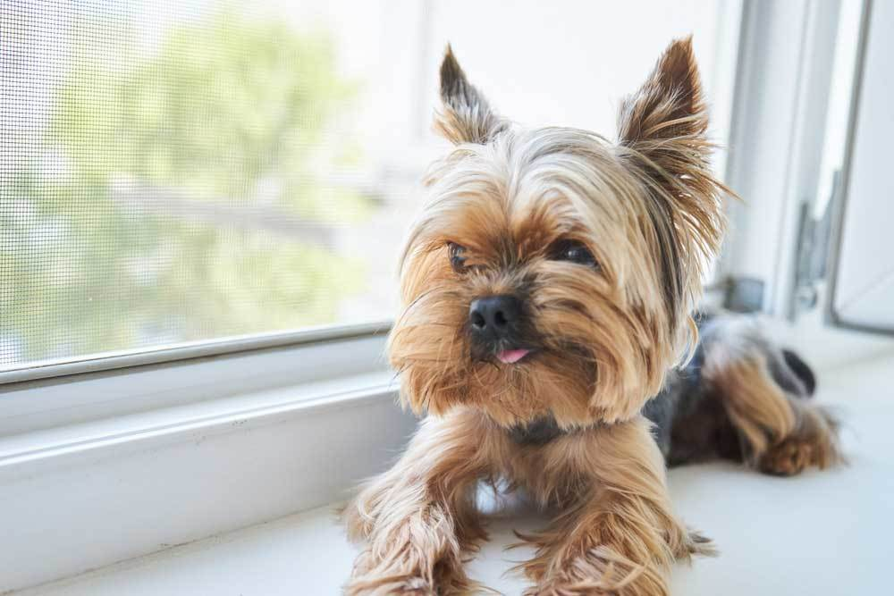 Yorkshire Terrier resting in front of window