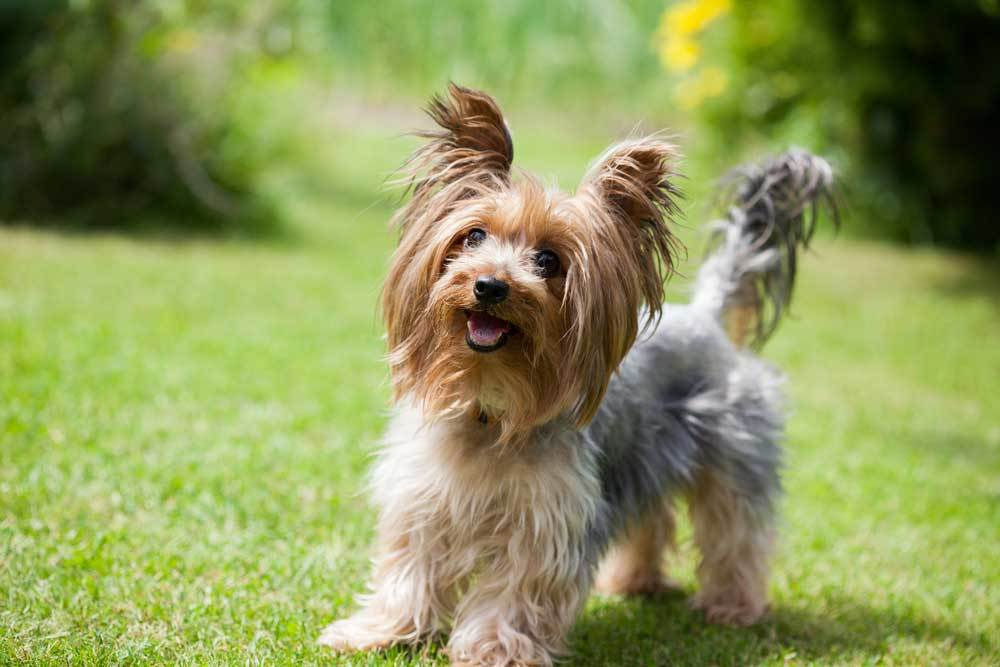 Yorkshire Terrier with ears at attention standing in grass