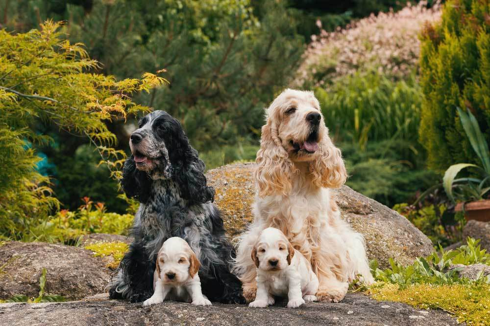 2 adult and 2 puppy Cocker Spaniels sitting on a large rock on front of trees