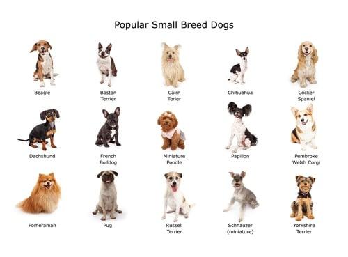 Popular small dog breeds chart
