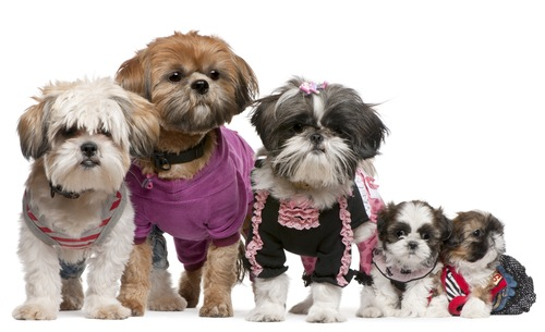 Group of shih tzus