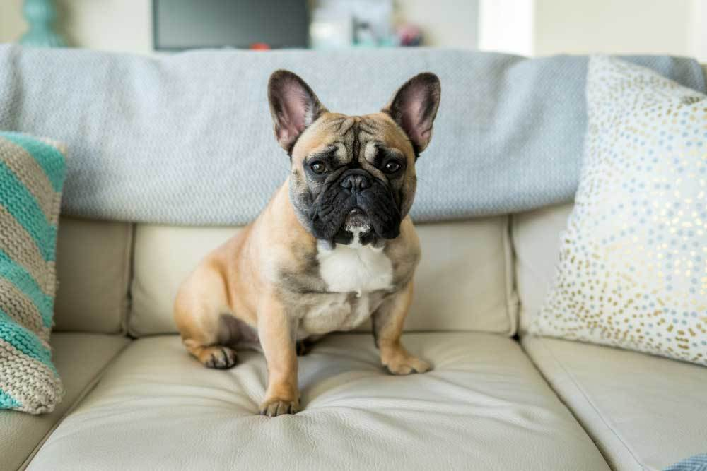 French Bulldog sitting on couch