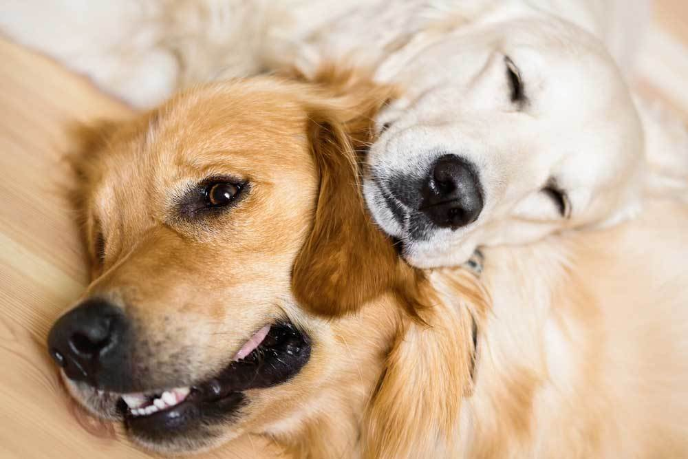 2 dogs laying down together with one resting its head on the others neck