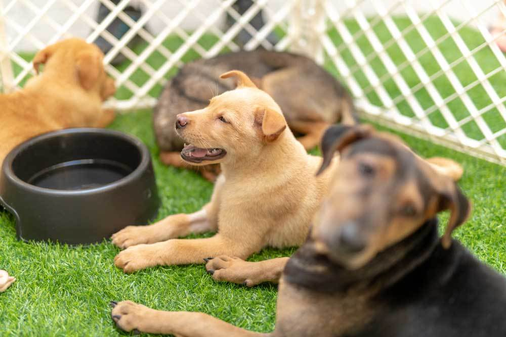 group of puppies outside in a puppy playpen lying down