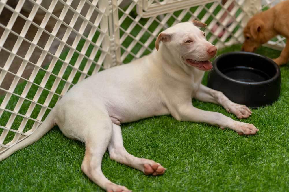 Puppy in a puppy playpen on AstroTurf