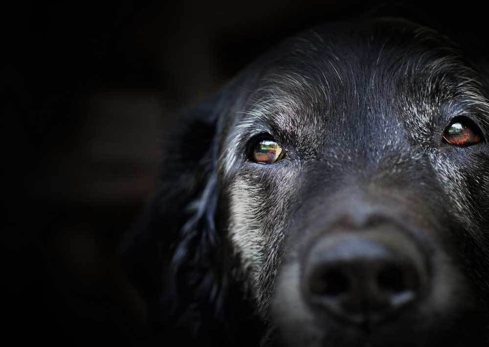 dark background with partial image of black dog face with gray around eyes.