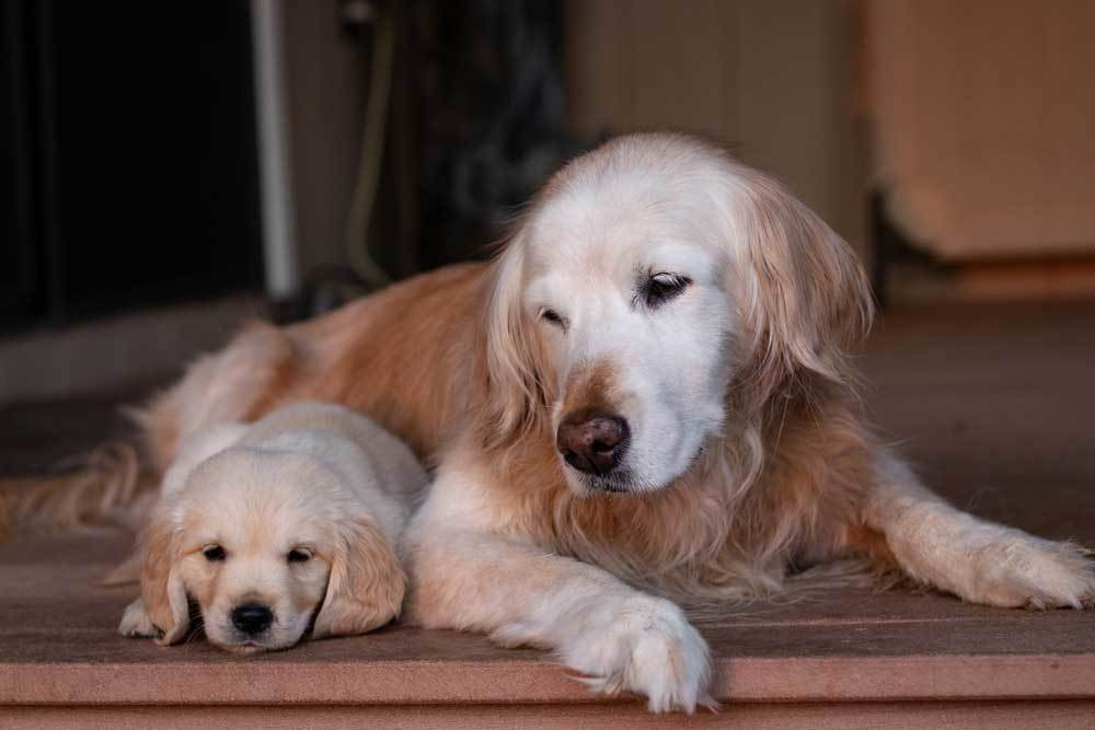 Older Golden  Retriever laying with puppy on porch. Older dog is looking over at the puppy.