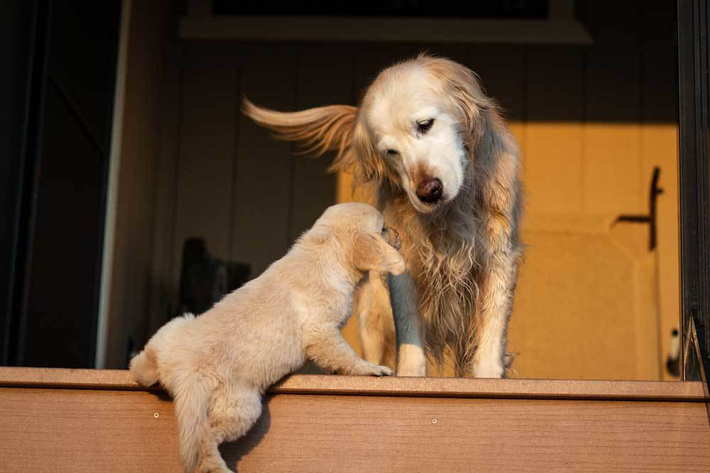 Golden retriever looking at puppy climbing stairs