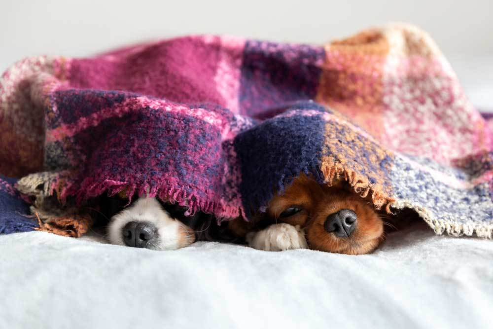 2 small dogs laying under blanket on bed