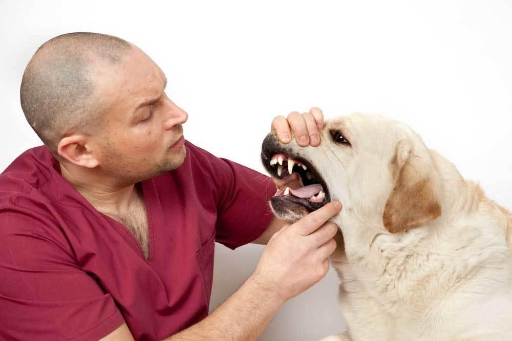 Man in red scrubs examining senior dog's teeth
