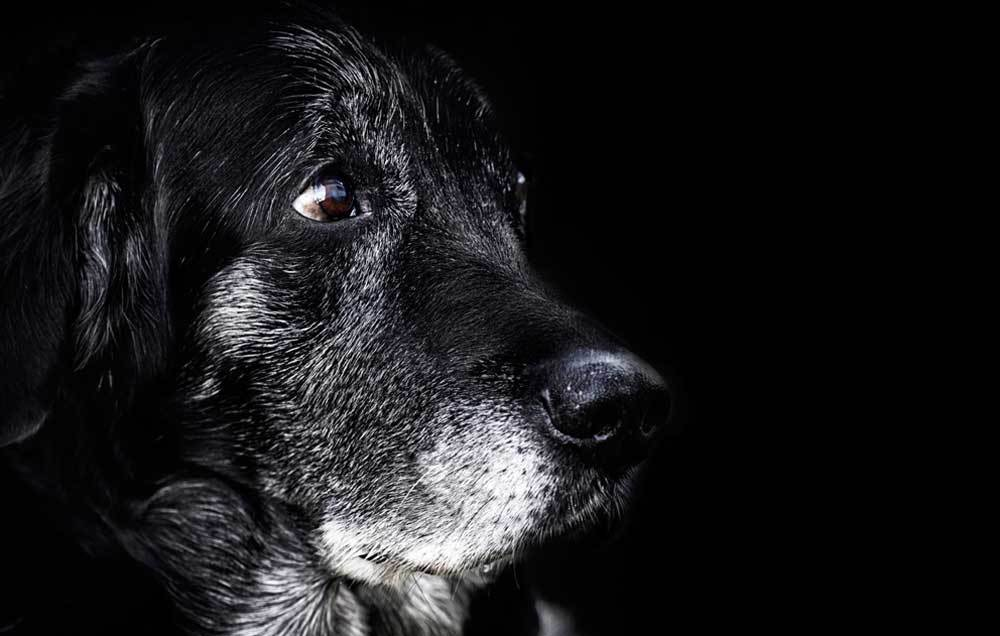 Profile view of black senior dog with gray face on black background.