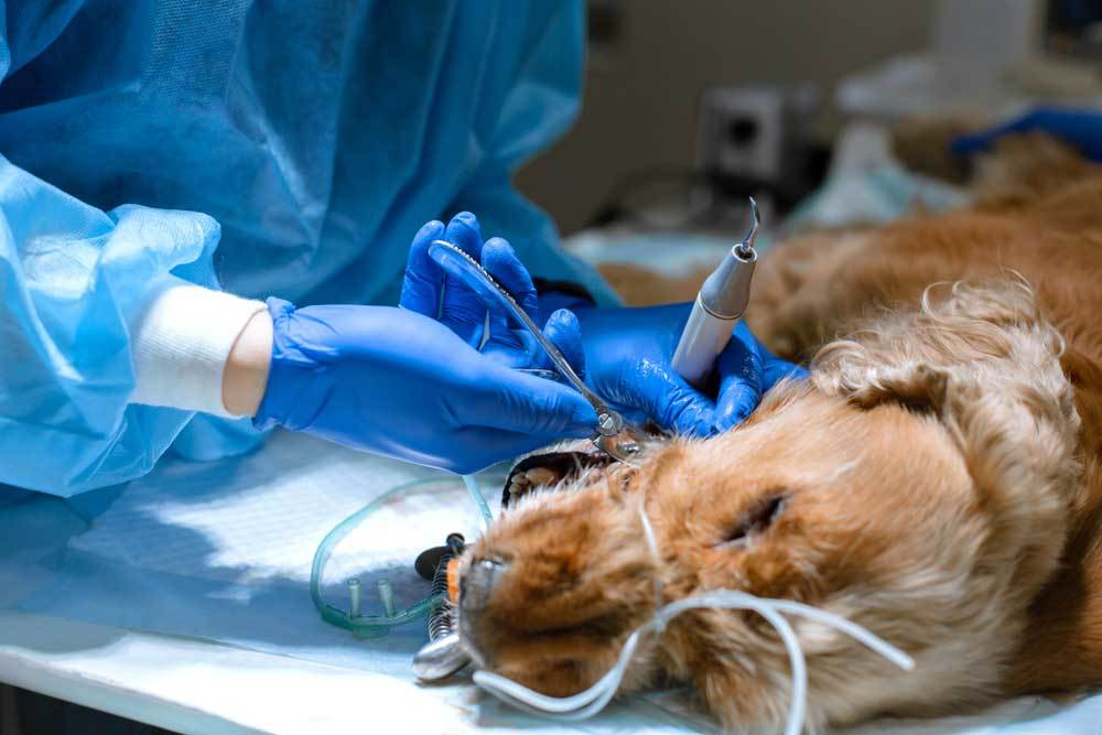 Dog under anesthesia having tooth removed by veterinarian