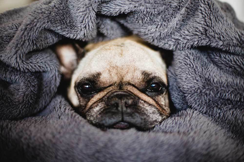 Pug with face sticking out of blanket