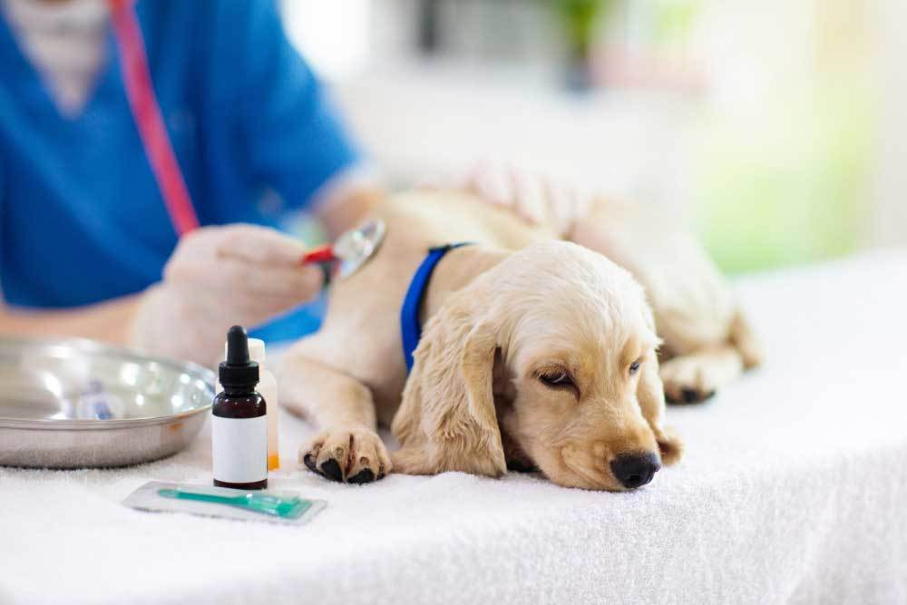Sick dog on vet exam table with stethoscope pressed to chest