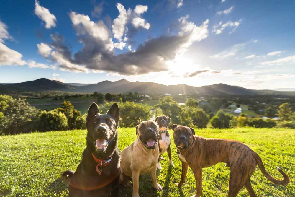 group of dogs in grassy field with blue skies and mountains in the background