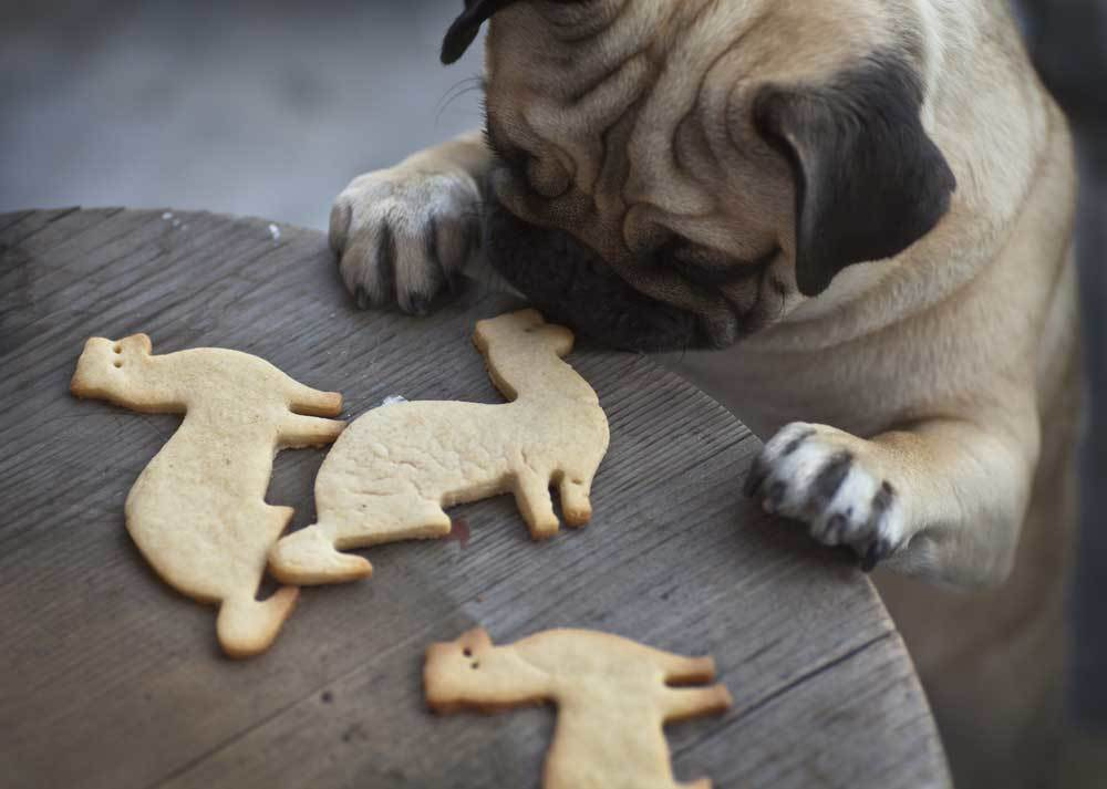 Pug with paws on table looking at cat shaped cookies