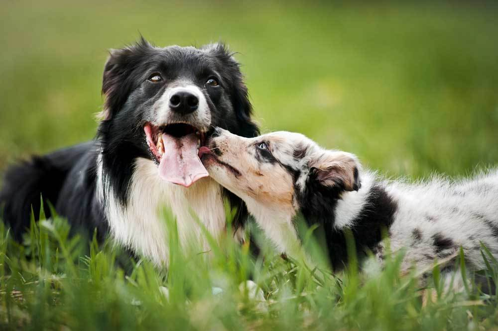 Adult dog and puppy in grassy field laying down with puppy licking face of older dog.
