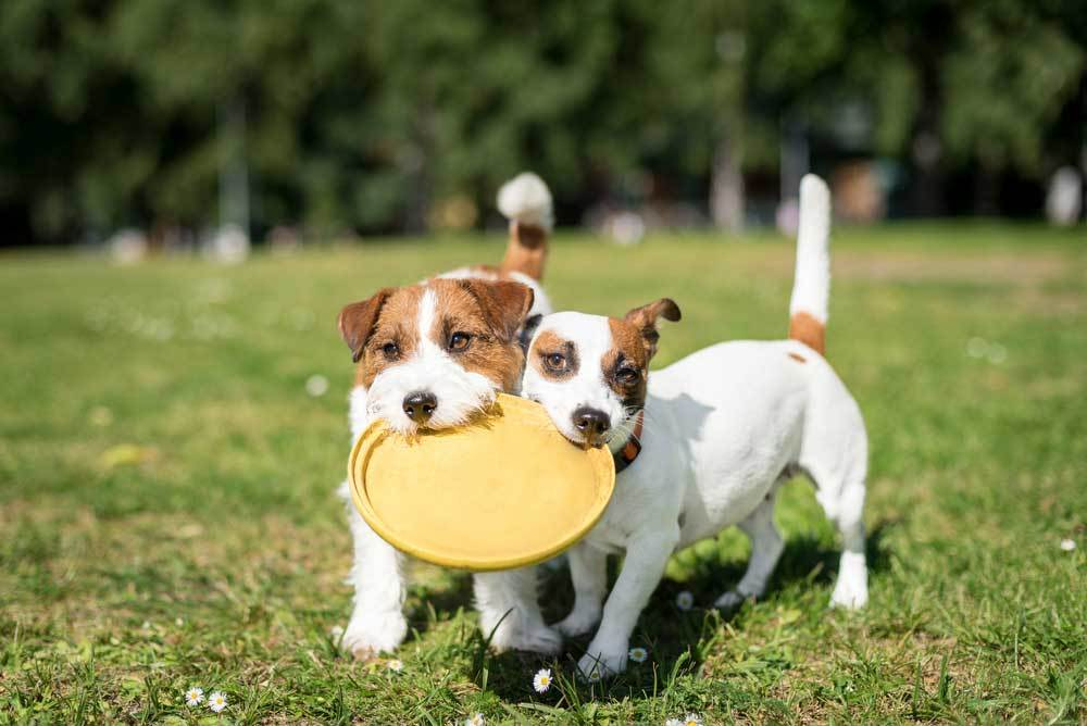 2 small dogs side by side both carrying the same Frisbee in their mouths