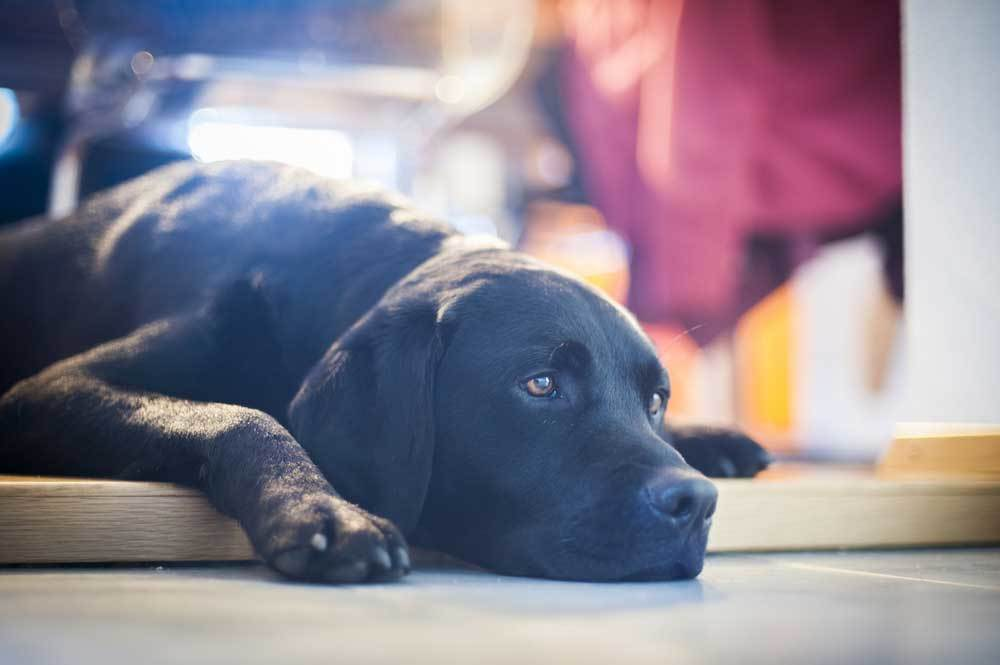 black lab laying down on floor looking bored.