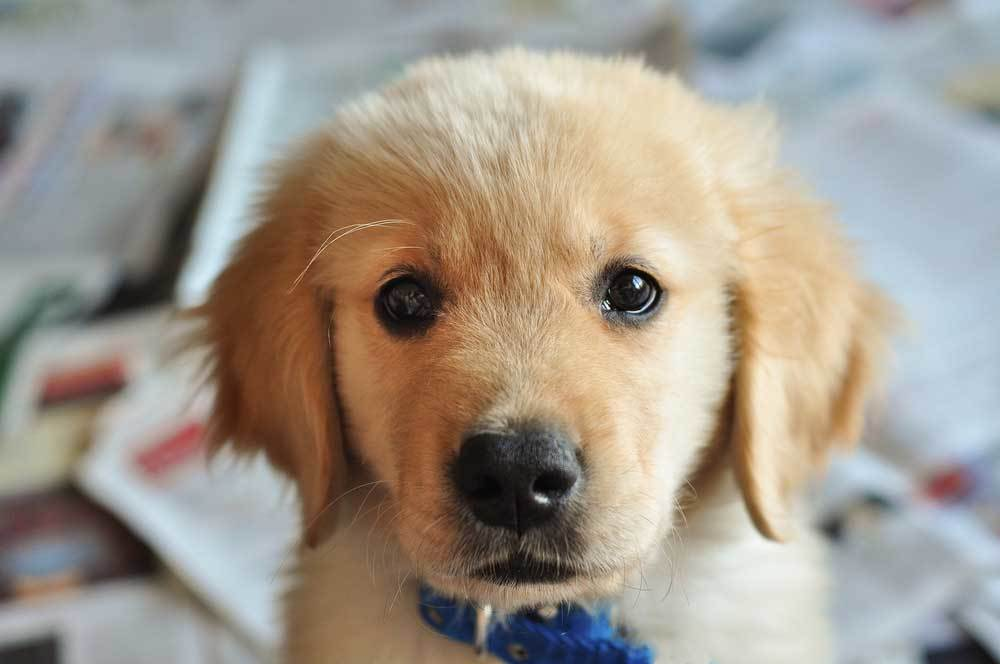Golden retriever puppy staring into camera while standing on pile of newspapers
