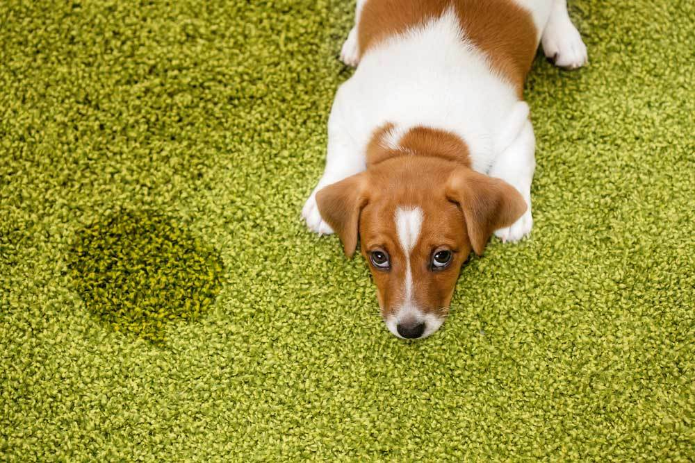 Jack Russell puppy laying on green carpet next to wet spot