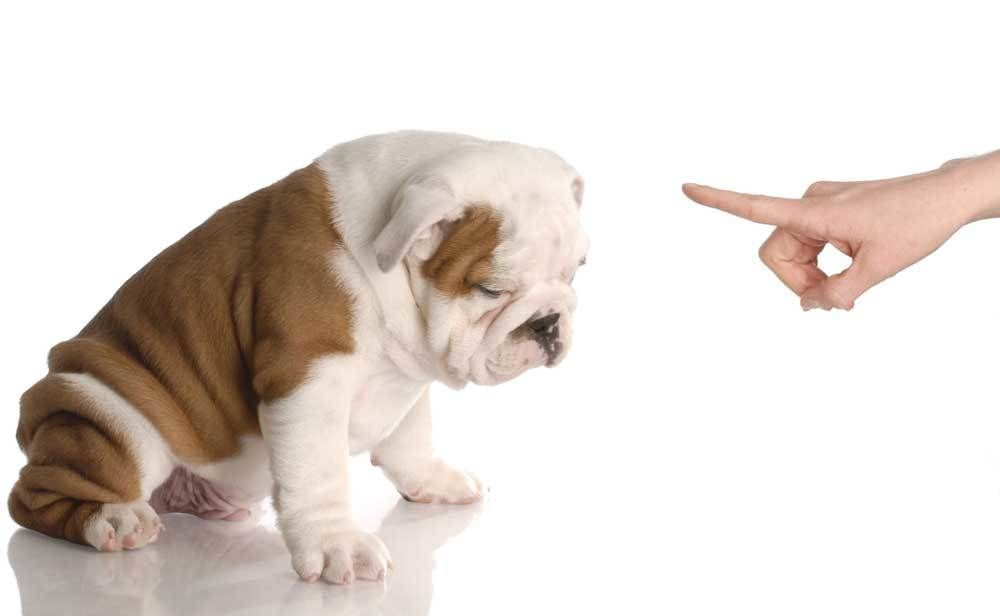 Finger pointed at bulldog to tell it no on a white background