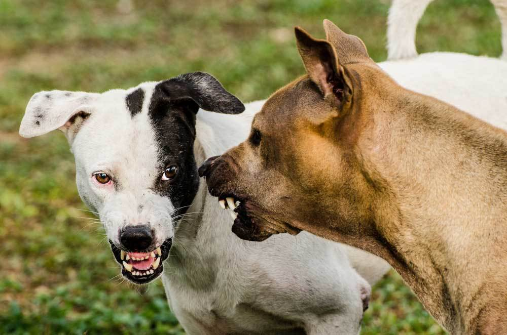 two small dogs snarling at each other