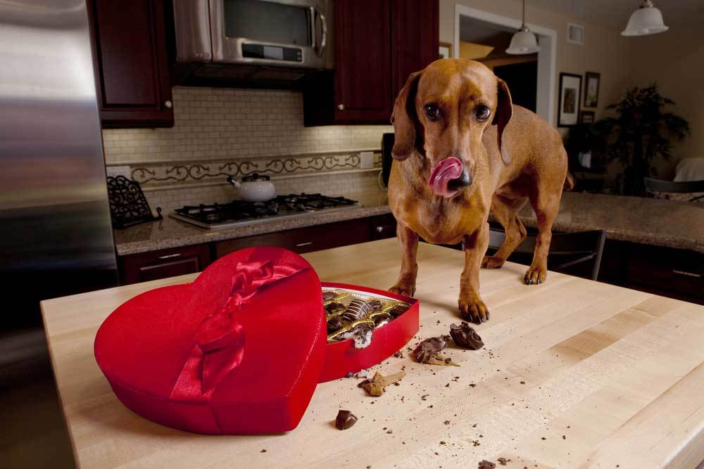 dachshund standing on counter eating chocolates from a heart shaped box