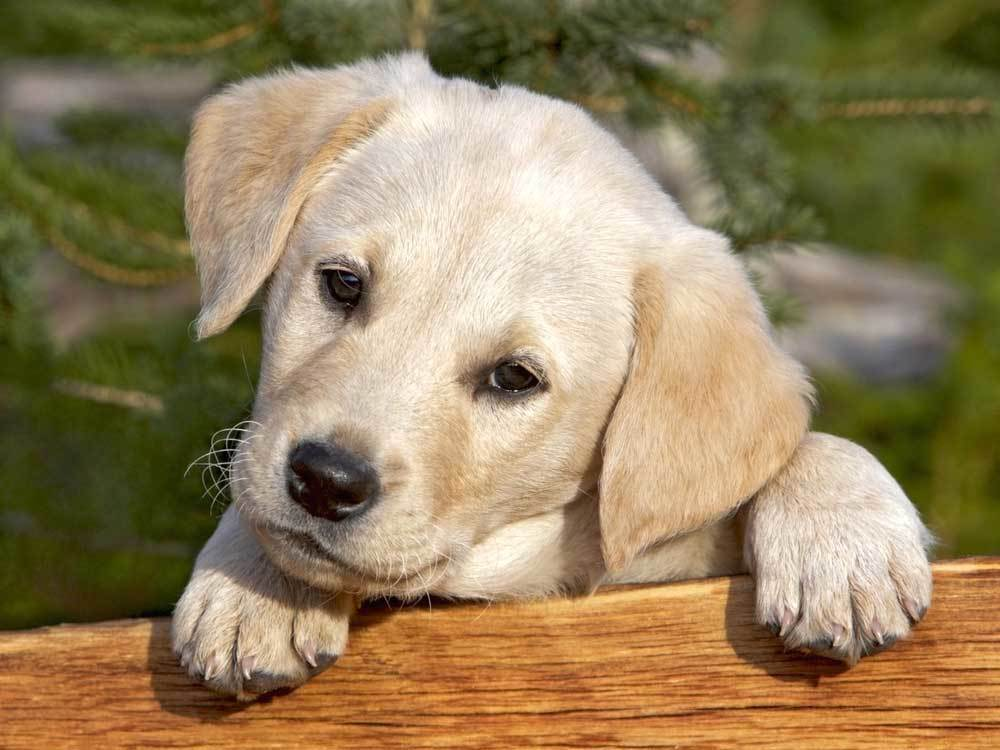 puppy peering over a wooden board